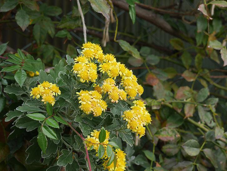 イソギクの花が咲いた。2020年-004.jpg