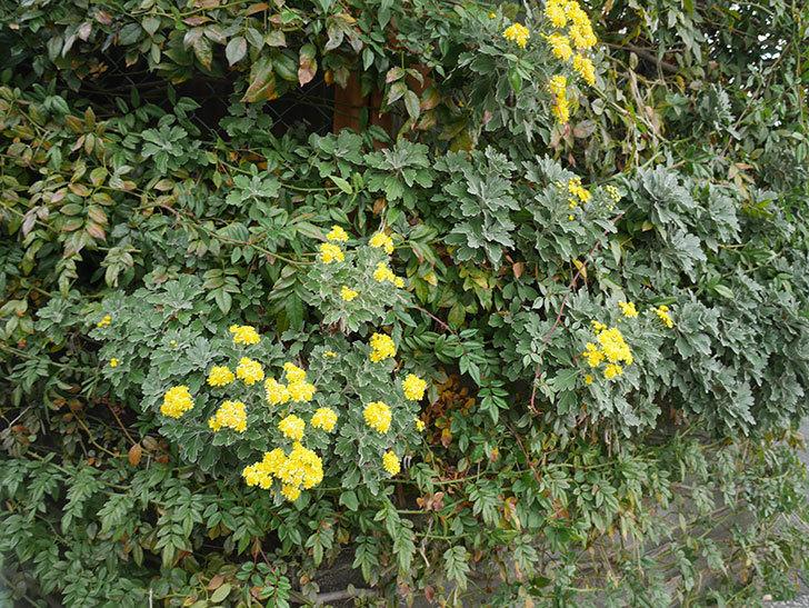 イソギクの花が咲いた。2020年-009.jpg
