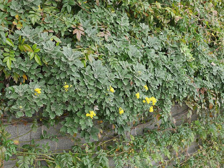 イソギクの花が咲いた。2020年-014.jpg