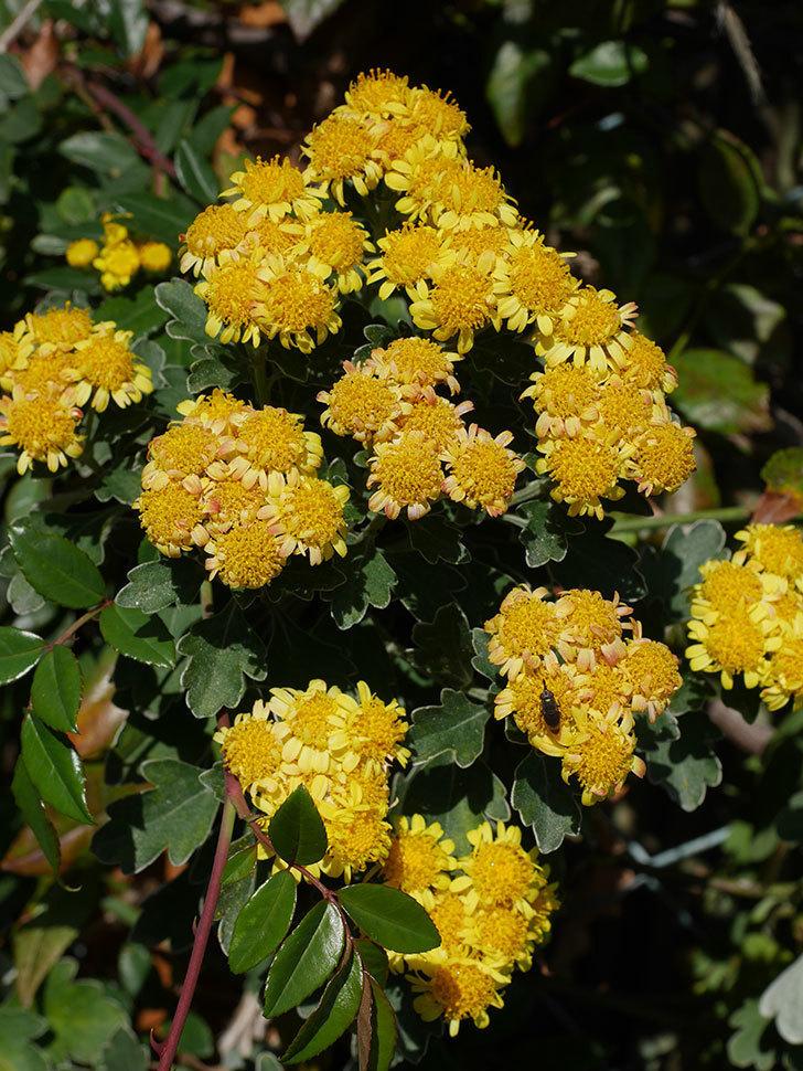イソギクの花が咲いた。2020年-022.jpg