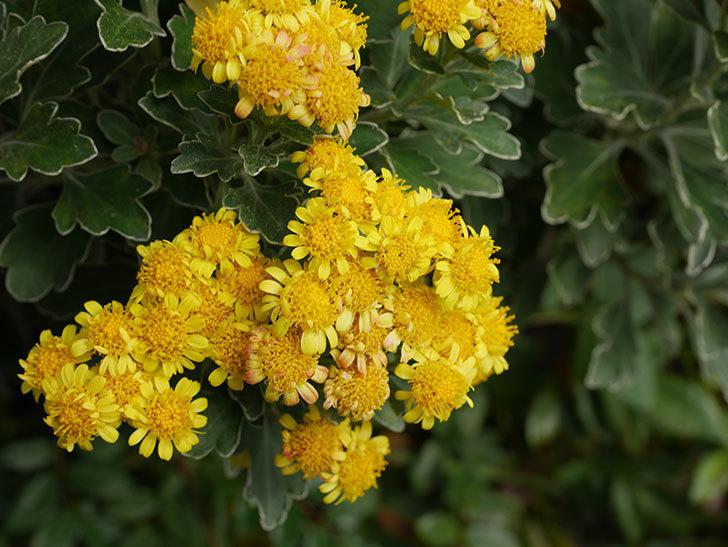 イソギクの花が咲いた。2020年-026.jpg