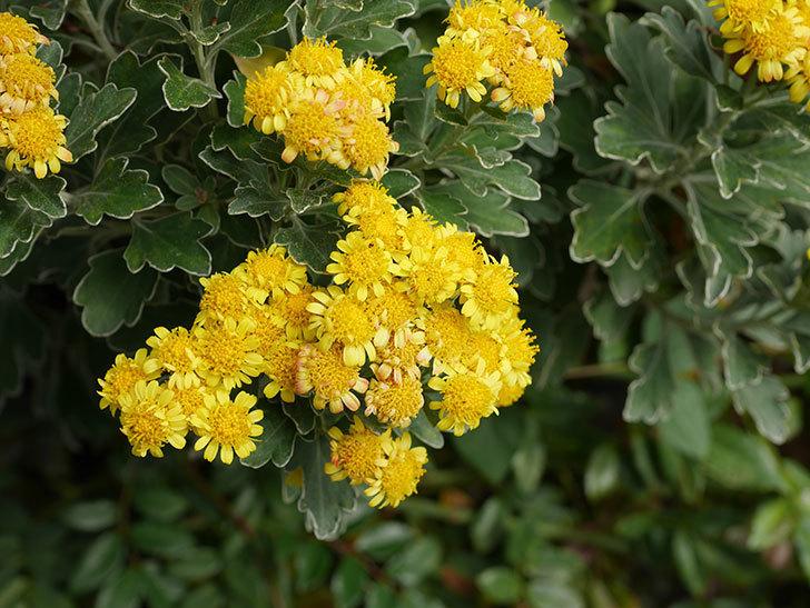イソギクの花が咲いた。2020年-027.jpg