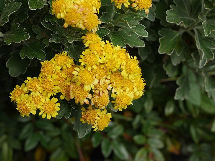 イソギクの花が咲いた。2020年-028.jpg