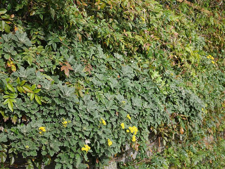 イソギクの花が咲いた。2020年-034.jpg