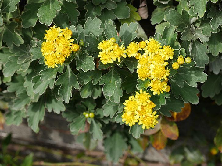 イソギクの花が咲いた。2020年-035.jpg