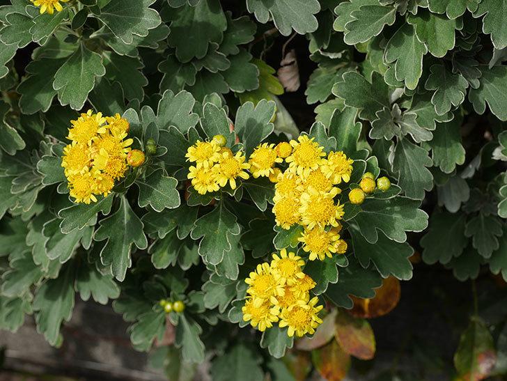 イソギクの花が咲いた。2020年-036.jpg