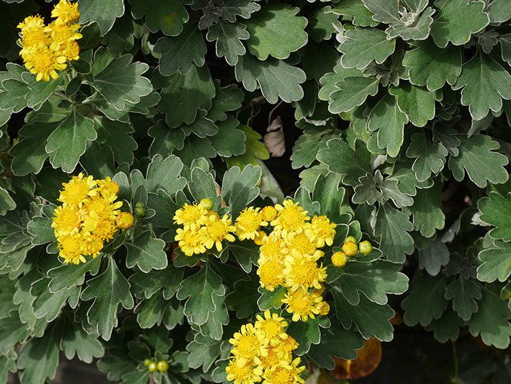 イソギクの花が咲いた。2020年-037.jpg