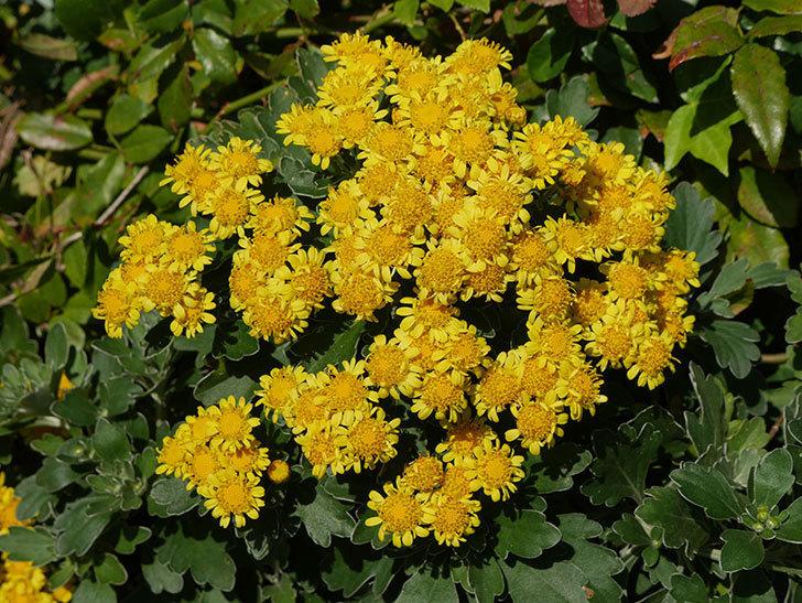 イソギクの花が増えて来た。2019年-10.jpg