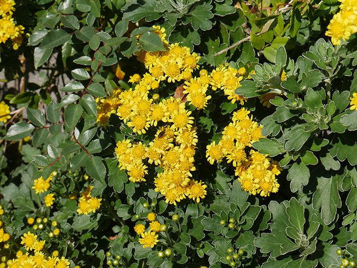 イソギクの花が増えて来た。2019年-11.jpg