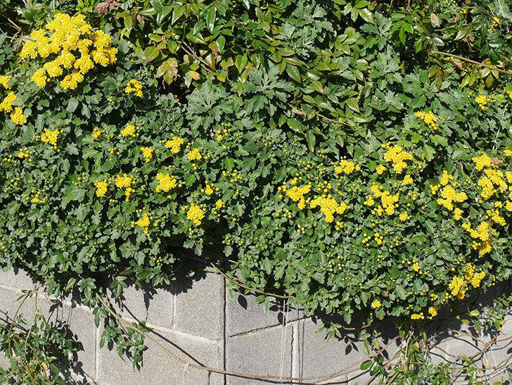 イソギクの花が増えて来た。2019年-12.jpg