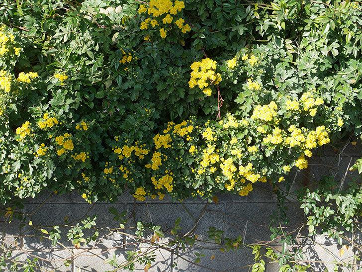 イソギクの花が増えて来た。2019年-13.jpg