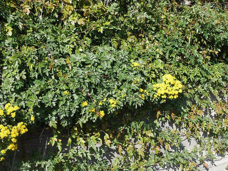 イソギクの花が増えて来た。2019年-14.jpg