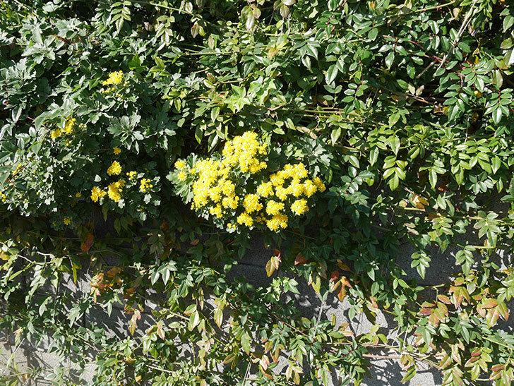 イソギクの花が増えて来た。2019年-15.jpg