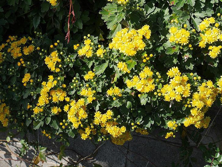 イソギクの花が増えて来た。2019年-18.jpg