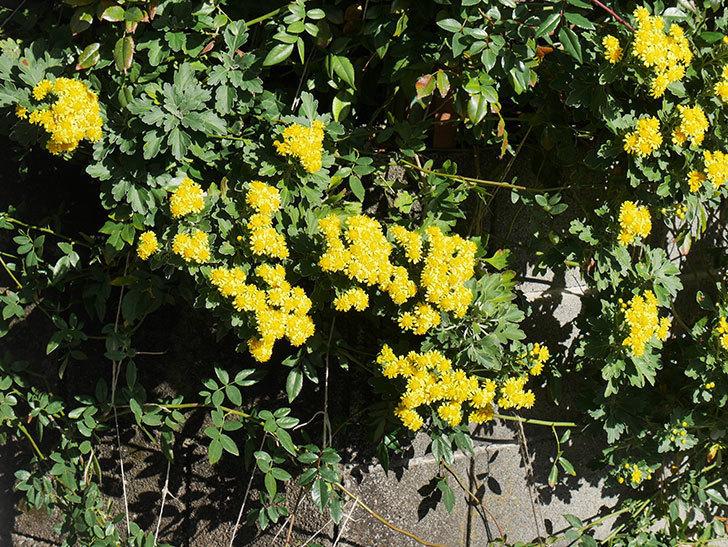 イソギクの花が増えて来た。2019年-2.jpg