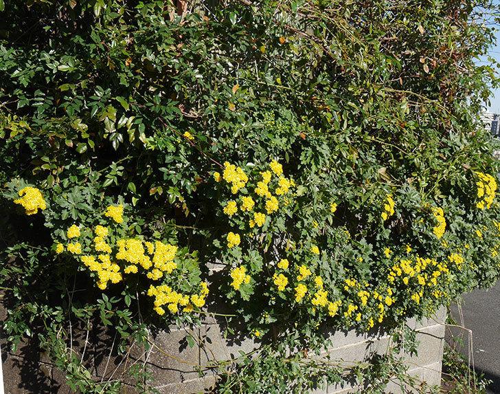イソギクの花が増えて来た。2019年-3.jpg