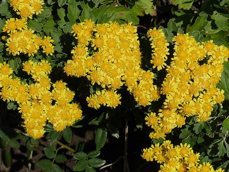 イソギクの花が増えて来た。2019年-5.jpg
