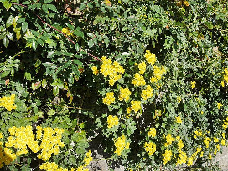 イソギクの花が増えて来た。2019年-6.jpg