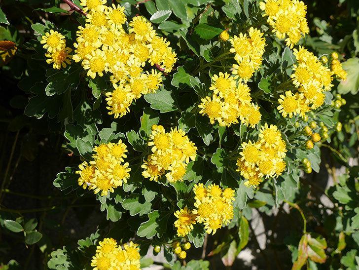 イソギクの花が増えて来た。2019年-7.jpg