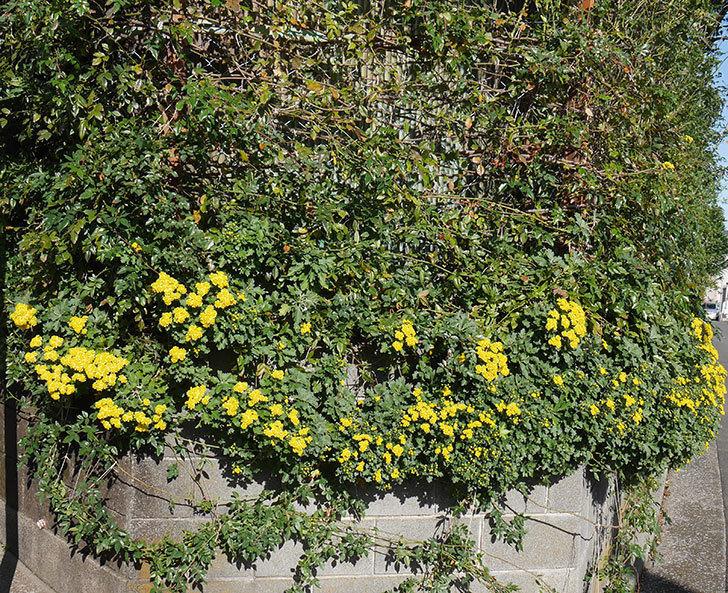 イソギクの花が増えて来た。2019年-8.jpg