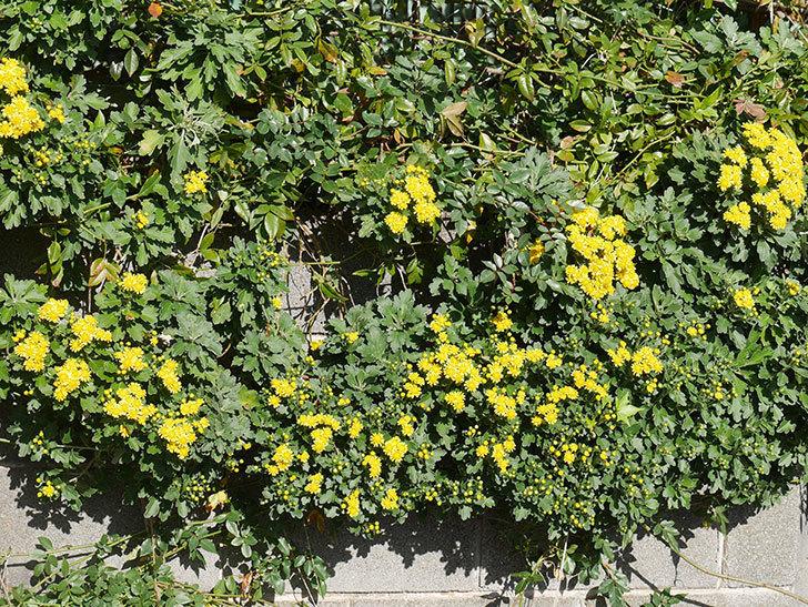 イソギクの花が増えて来た。2019年-9.jpg