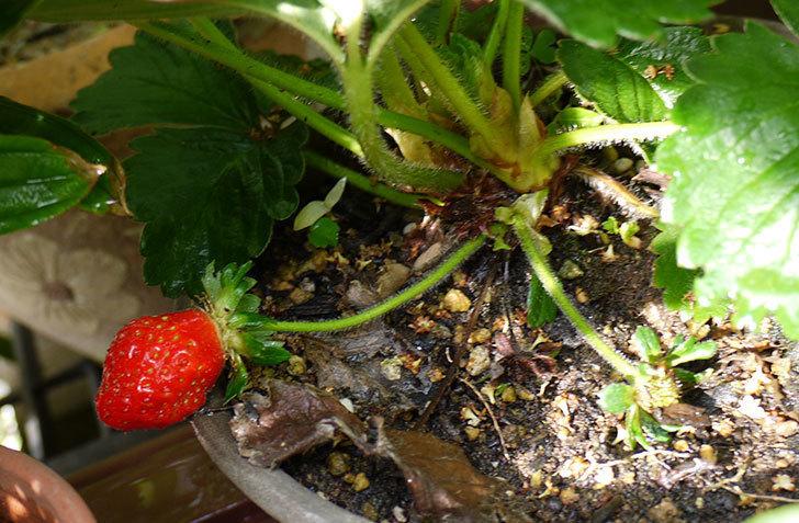 イチゴの実が赤くなったので収穫して食べた1.jpg