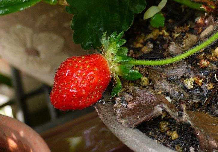 イチゴの実が赤くなったので収穫して食べた2.jpg