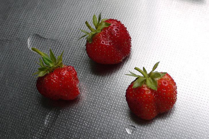イチゴの実を3個収穫して食べた。2015年-1.jpg