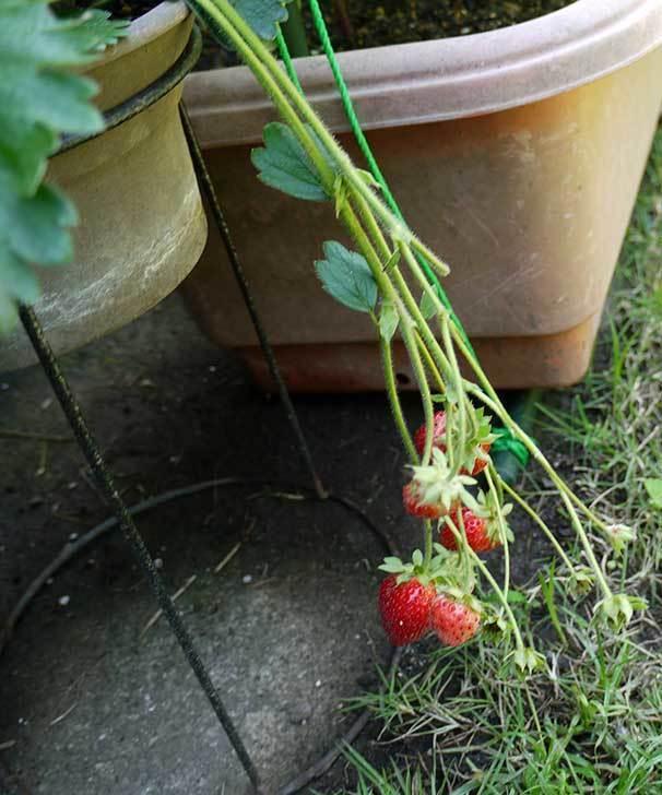 イチゴの実を3個収穫して食べた。2015年-2.jpg