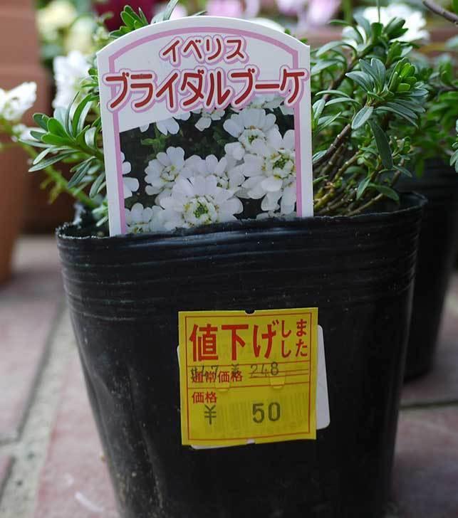 イベリス-ブライダルブーケがホームズで50円だったので6個買って来た。2016年-4.jpg