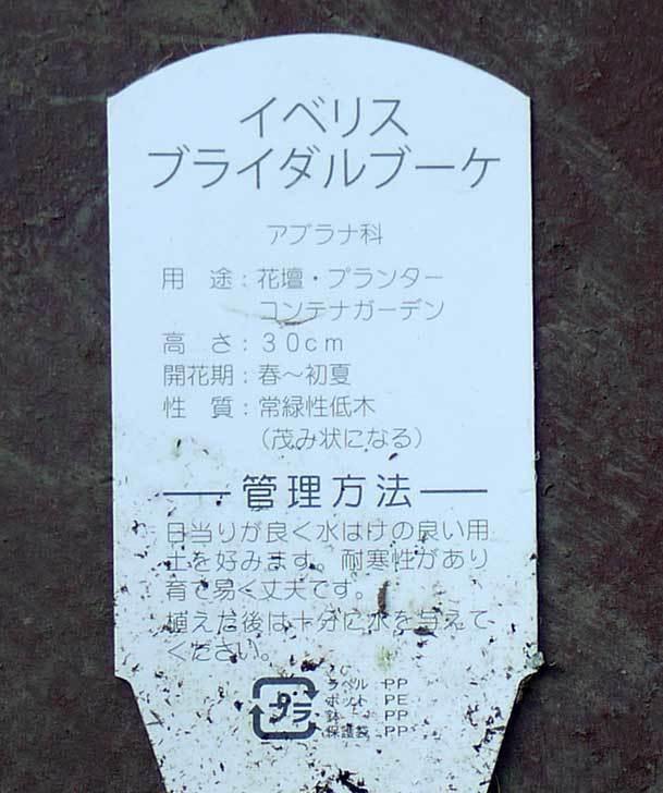 イベリス-ブライダルブーケがホームズで50円だったので6個買って来た。2016年-6.jpg