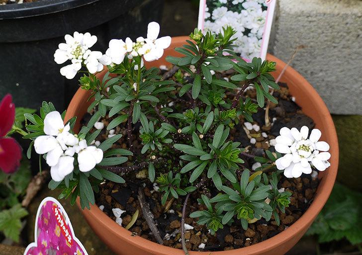 イベリス-ブライダルブーケの花が増えて来た。2016年-1.jpg