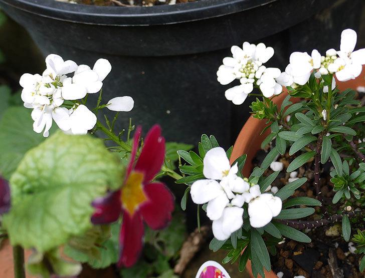 イベリス-ブライダルブーケの花が増えて来た。2016年-2.jpg