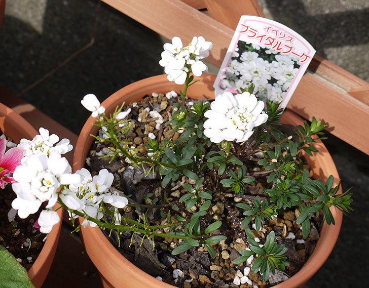 イベリス-ブライダルブーケの花が増えて来た。2016年-4.jpg