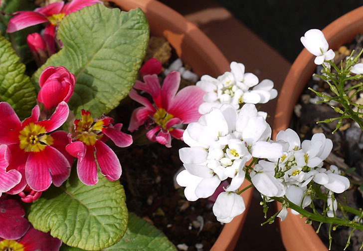 イベリス-ブライダルブーケの花が増えて来た。2016年-5.jpg