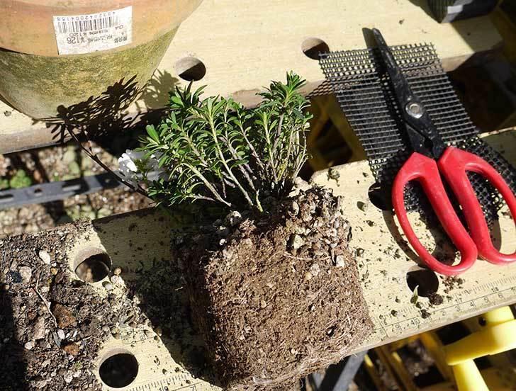 イベリス-ブライダルブーケを鉢に植えた。2016年-1.jpg