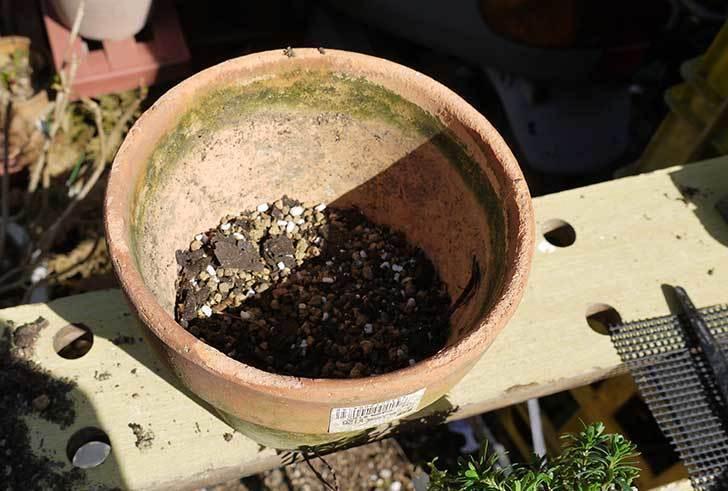 イベリス-ブライダルブーケを鉢に植えた。2016年-2.jpg