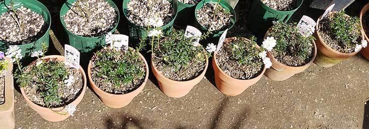 イベリス-ブライダルブーケを鉢に植えた。2016年-4.jpg