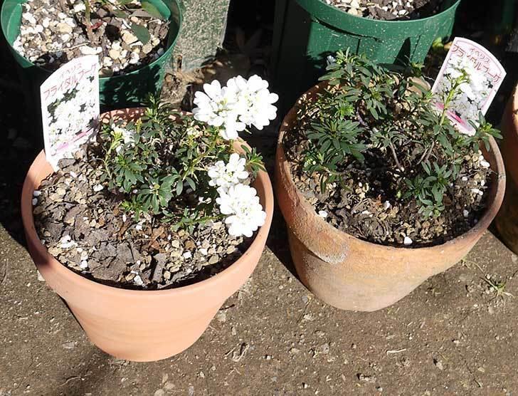 イベリス-ブライダルブーケを鉢に植えた。2016年-5.jpg