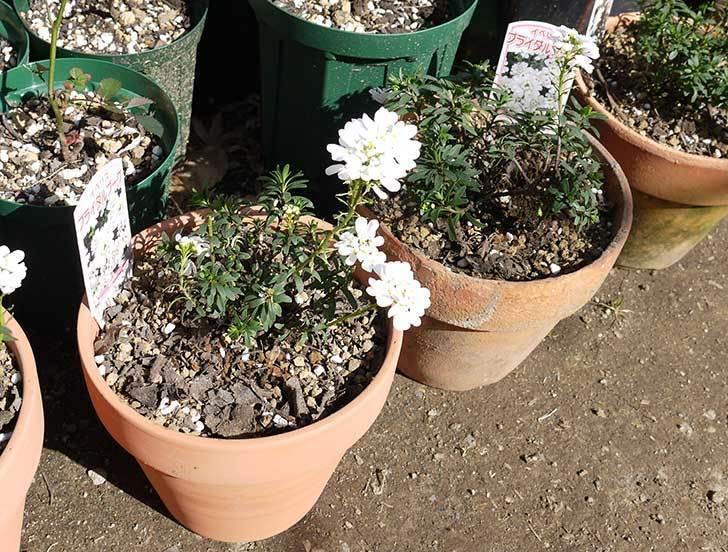 イベリス-ブライダルブーケを鉢に植えた。2016年-7.jpg