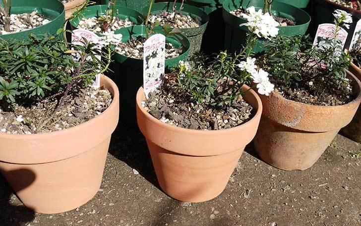 イベリス-ブライダルブーケを鉢に植えた。2016年-8.jpg