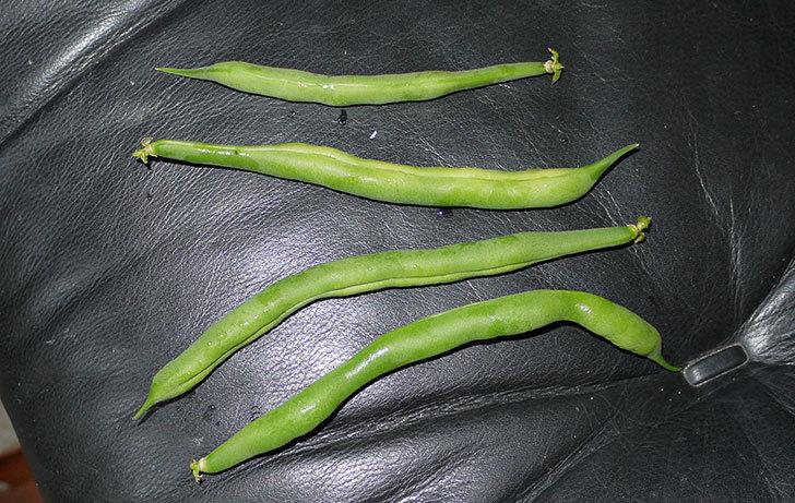 インゲンを初収穫した。2015年-4.jpg