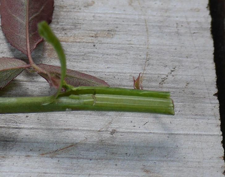 インフィニティ(ミニバラ)の蕾付きの新枝が1本バラクキバチにやられて萎れた。2019年-5.jpg