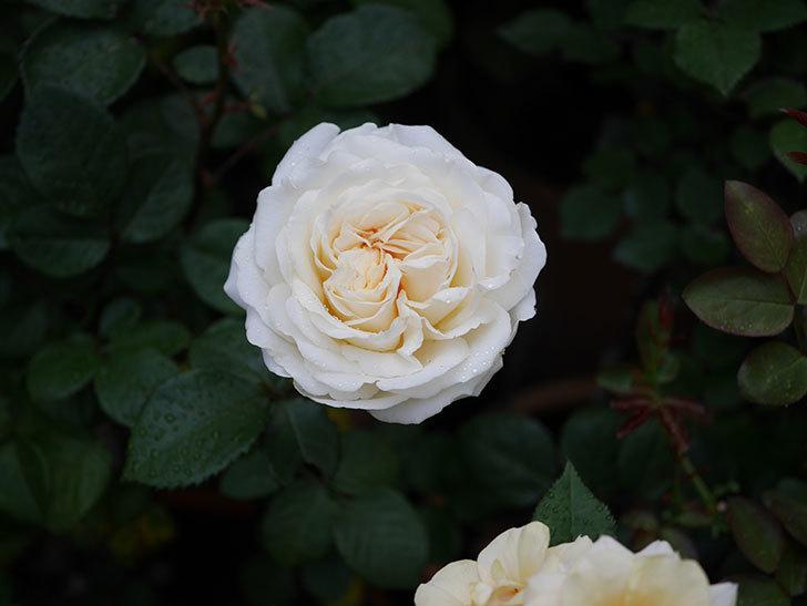 インフィニティローズ (Infinity Rose)(ミニバラ)の花が増えてきた。2020年-003.jpg