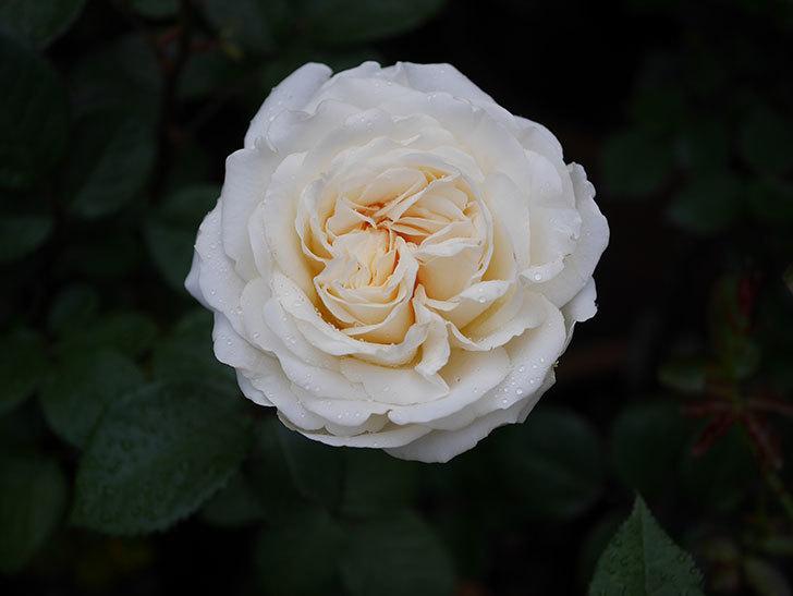 インフィニティローズ (Infinity Rose)(ミニバラ)の花が増えてきた。2020年-004.jpg