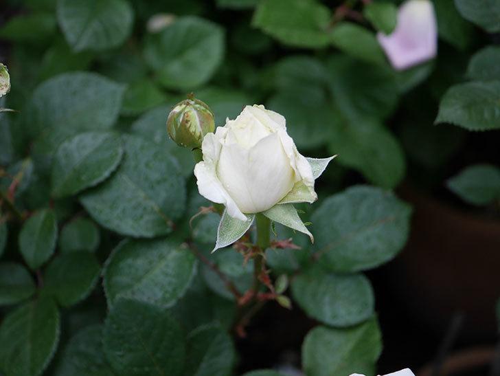 インフィニティローズ (Infinity Rose)(ミニバラ)の花が増えてきた。2020年-005.jpg