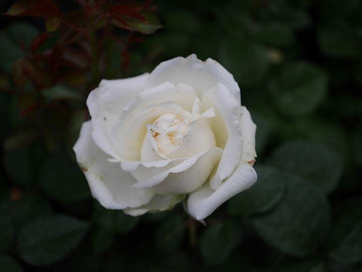 インフィニティローズ (Infinity Rose)(ミニバラ)の花が増えてきた。2020年-006.jpg