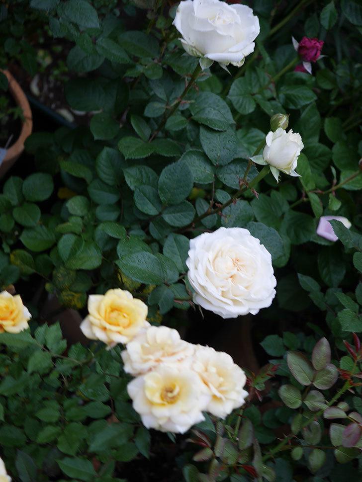 インフィニティローズ (Infinity Rose)(ミニバラ)の花が増えてきた。2020年-007.jpg