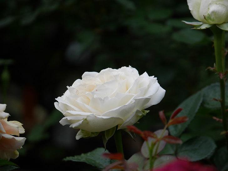 インフィニティローズ (Infinity Rose)(ミニバラ)の花が増えてきた。2020年-008.jpg