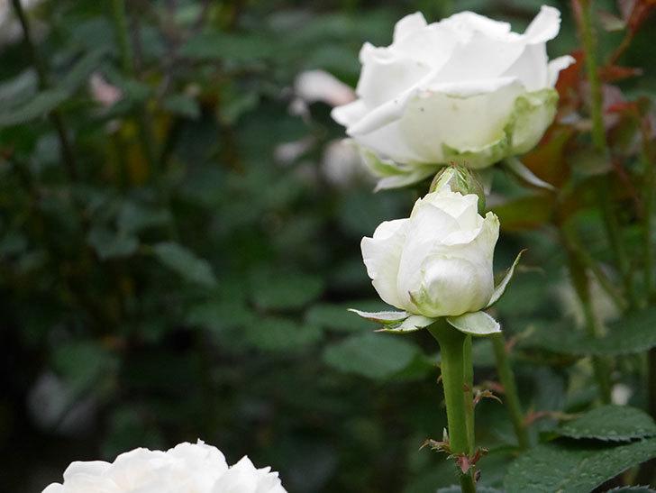 インフィニティローズ (Infinity Rose)(ミニバラ)の花が増えてきた。2020年-009.jpg